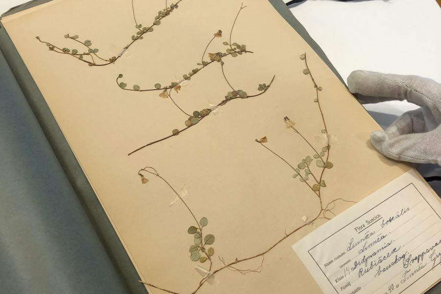 Uppslag i herbariet som visar en linnea plockad i Haparanda