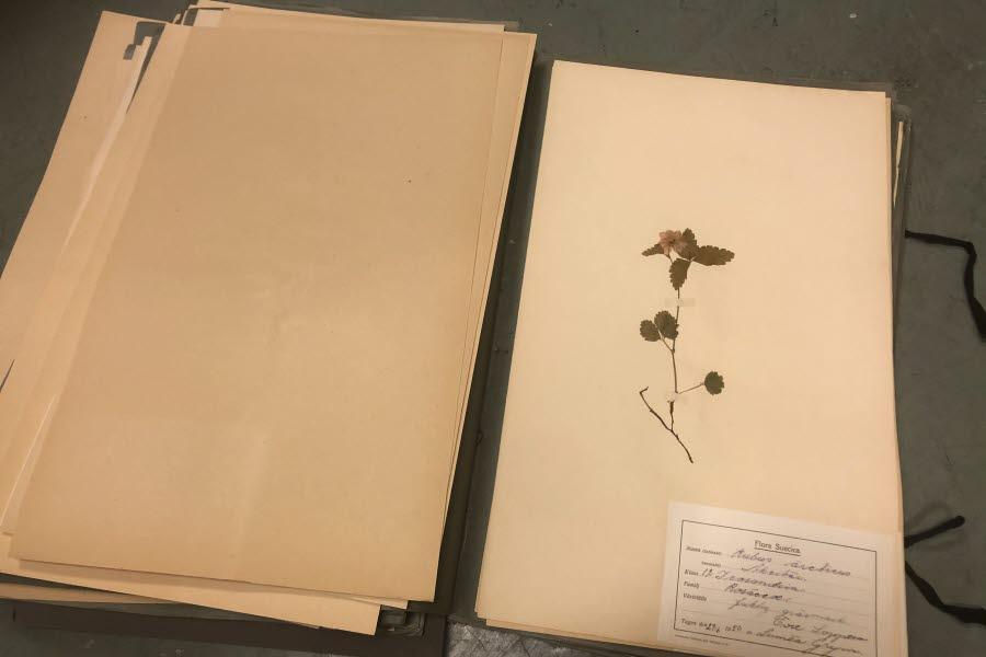 Ett uppslaget herbarium med ett torkat åkerbär